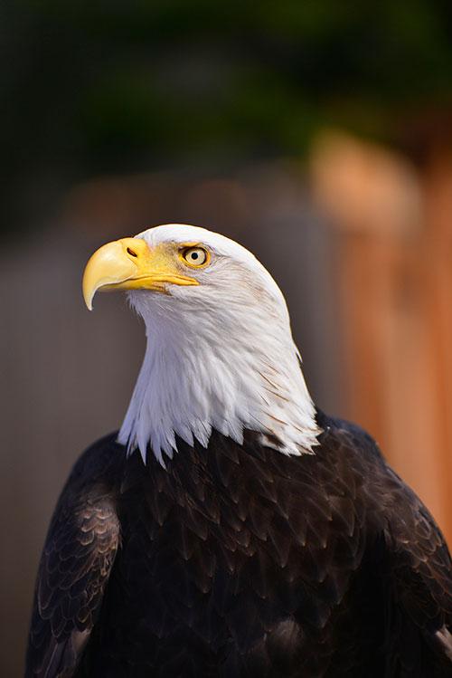 bald-eagle-6598