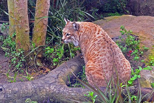 bobcat-4145